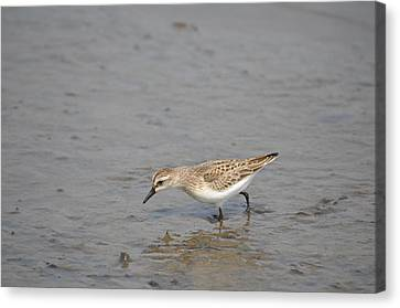 Canvas Print featuring the photograph Semipalmated Sandpiper by James Petersen
