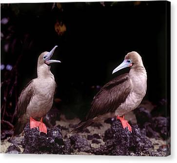 South America, Ecuador, Galapagos Canvas Print by Jaynes Gallery