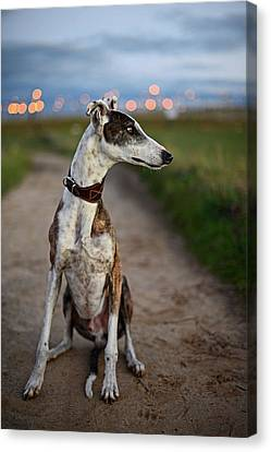 Spanish Greyhound Canvas Print