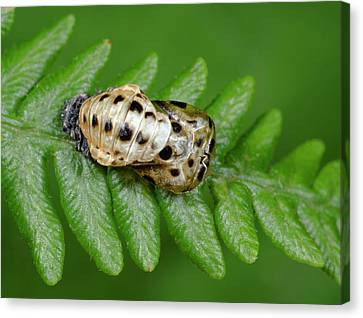 7-spot Ladybird Emerging From Pupa Canvas Print by Nigel Downer
