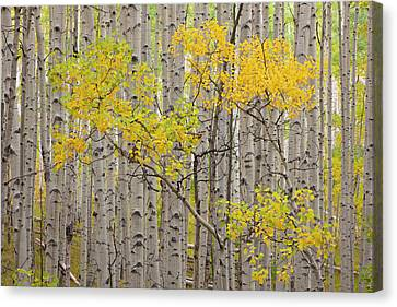 Populus Tremuloides Canvas Print - Usa, Colorado, White River National by Jaynes Gallery