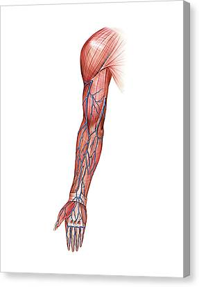 Median Canvas Print - Venous System Of The Upper Limb by Asklepios Medical Atlas