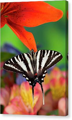 Zebra Swallowtail North American Canvas Print