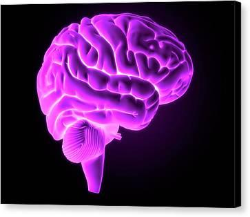 Human Brain Canvas Print by Sebastian Kaulitzki