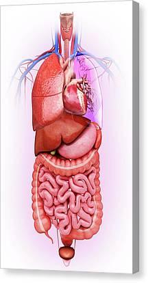 Sigmoid Colon Canvas Print - Human Internal Organs by Pixologicstudio