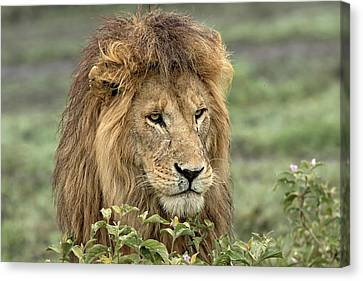 Lion Canvas Print - Africa, Tanzania, Serengeti by Charles Sleicher