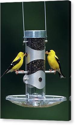 American Goldfinches (carduelis Tristis Canvas Print by Richard and Susan Day