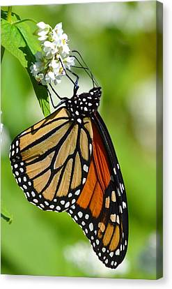 Butterfly Canvas Print by Dacia Doroff