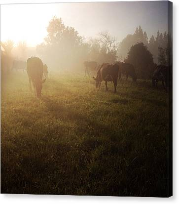 Cows Canvas Print by Les Cunliffe
