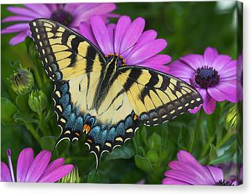 Eastern Tiger Swallowtail Butterfly Canvas Print by Darrell Gulin