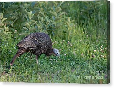 Eastern Wild Turkey Canvas Print by Linda Freshwaters Arndt