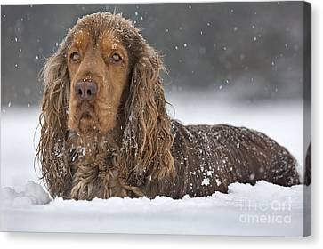 English Cocker Spaniel Canvas Print by Johan De Meester