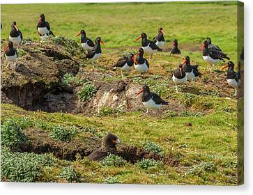 Carcass Canvas Print - Falkland Islands, Carcass Island by Jaynes Gallery