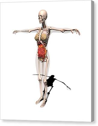 Female Anatomy, Artwork Canvas Print by Science Photo Library