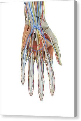 Human Anatomy Canvas Print