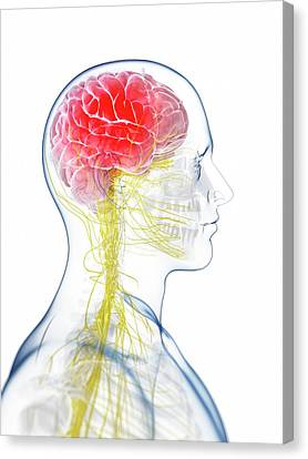 Human Brain Anatomy Canvas Print by Sebastian Kaulitzki