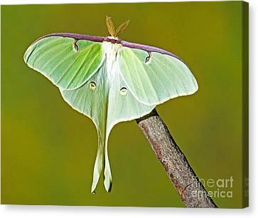 Luna Moth Canvas Print by Millard H. Sharp