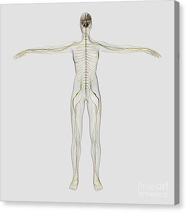 Medical Illustration Of The Human Canvas Print by Stocktrek Images