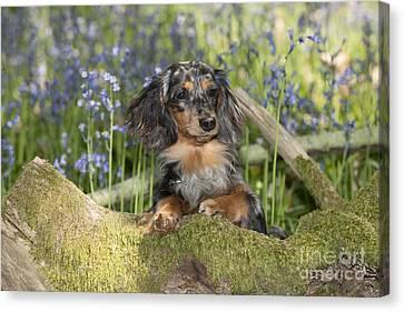 Miniature Long-haired Dachshund Canvas Print