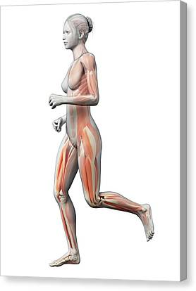 Muscular System Of Runner Canvas Print