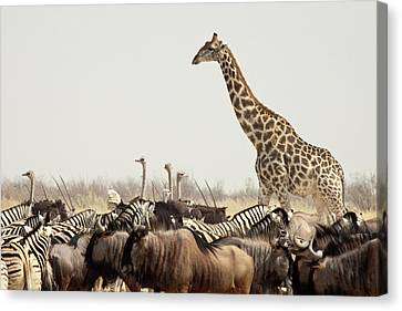 Gnu Canvas Print - Namibia, Etosha National Park by Jaynes Gallery