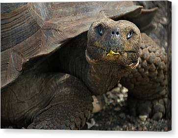 South America, Ecuador, Galapagos Canvas Print by Jaynes Gallery