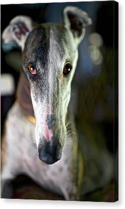 Rescued Greyhound Canvas Print - Spanish Greyhound by Nano Calvo