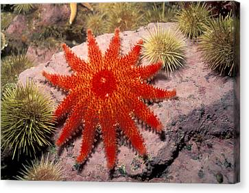 Spiny Sunstar Canvas Print by Andrew J. Martinez