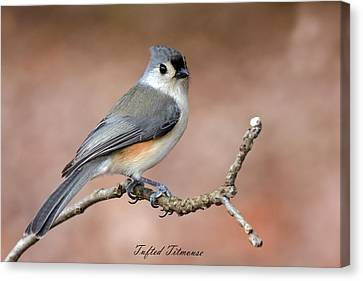Tufted Titmouse Canvas Print by David Lester