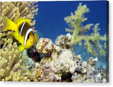 Clown Fish Canvas Print - Twoband Anemonefish by Dimitris Neroulias