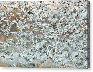 Frenzy Canvas Print - Usa, New Mexico, Bosque Del Apache by Jaynes Gallery