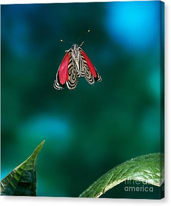 Butterfly In Motion Canvas Print - 89 Butterfly In Flight by Stephen Dalton