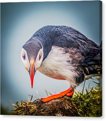 Atlantic Puffin Fratercula Arctica Canvas Print