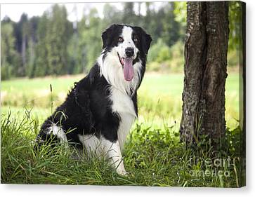 Border Collie In The Nature Canvas Print by Regina Koch