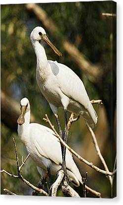 Eurasian Spoonbill Or Common Spoonbill Canvas Print by Martin Zwick