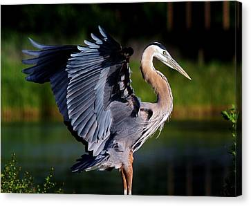 Great Blue Heron Canvas Print by Paulette Thomas