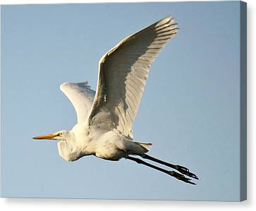 Great White Egret In Flight Canvas Print by Paulette Thomas