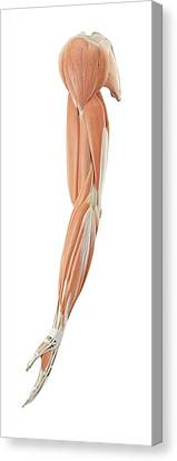 Human Arm Anatomy Canvas Print