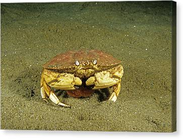 Jonah Crab Canvas Print by Andrew J. Martinez