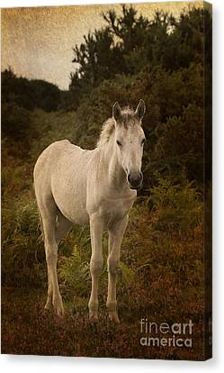 New Forest Pony Canvas Print by Angel  Tarantella