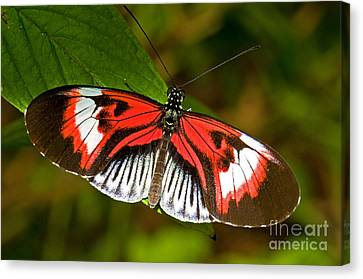 Piano Key Butterfly Canvas Print by Millard H. Sharp