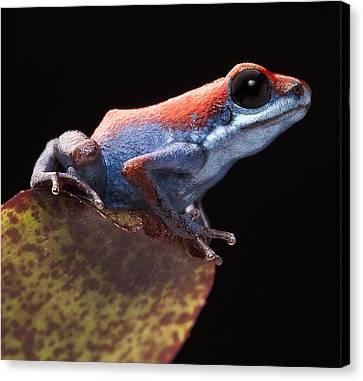 Poison Dart Frog Canvas Print by Dirk Ercken