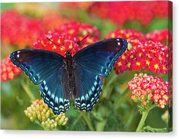 Red Spotted Purple Butterfly, Limenitis Canvas Print by Darrell Gulin