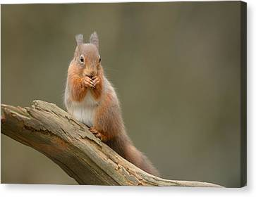 Bushy Tail Canvas Print - Red Squirrel by Andy Astbury
