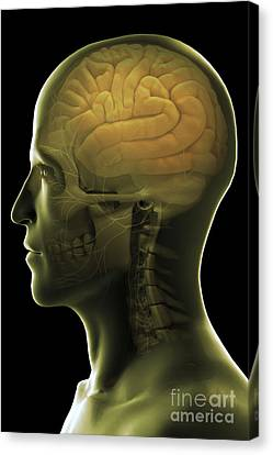 The Human Brain Canvas Print by Science Picture Co