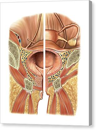 Urinary Bladder And Urethra Canvas Print by Asklepios Medical Atlas