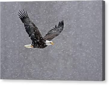 Usa, Alaska, Chilkat Bald Eagle Preserve Canvas Print by Jaynes Gallery