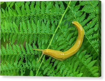 Slug Canvas Print - Usa, California, Redwoods National Park by Jaynes Gallery