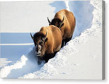 Wyoming, Yellowstone National Park Canvas Print