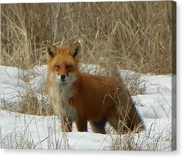 Bushy Tail Canvas Print - #926 D762 Salisbury Beach State Reservation Fox On The Hunt by Robin Lee Mccarthy Photography